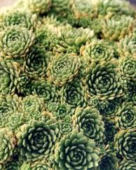 A photo of Rosularia
