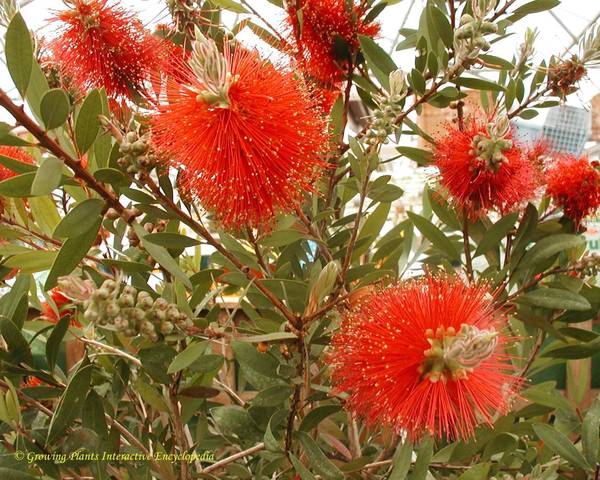 A picture of a Bottlebrush