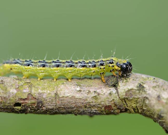 A close up image of a box tree moth caterpillar on a branch