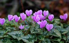 A photo of Ivy-Leaved Cyclamen