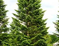 Abies nordmanniana young tree