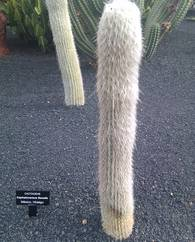 A photo of Old Mans Beard Cactus