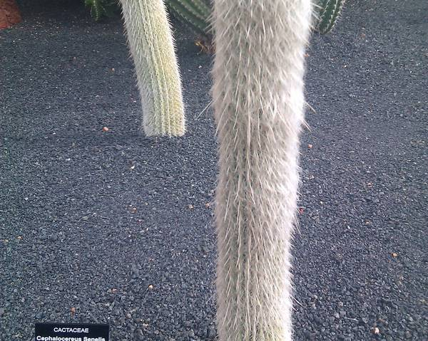 A picture of a Old-Man Cactus