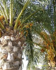 A photo of Date Palm Tree