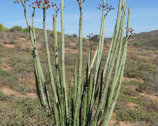 A picture of a Euphorbia dregeana