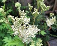 A photo of Meadowsweet