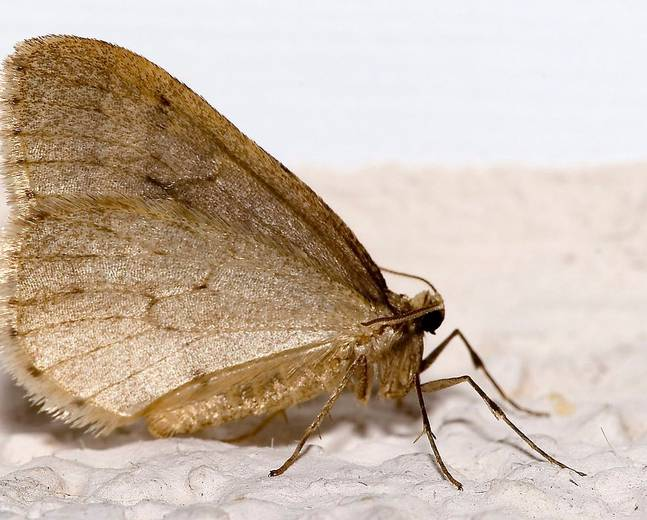 A male Operophtera brumata Winter Moth