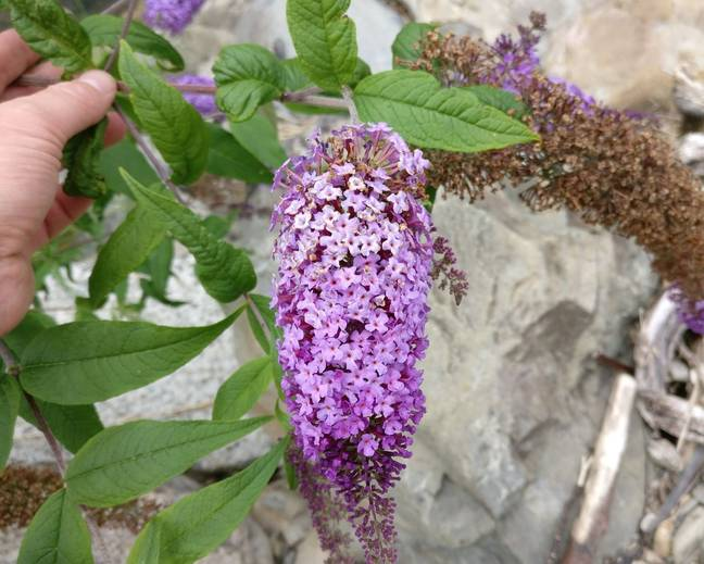 A close up of some purple Buddleja Buddleia flowers and green leaves against some rocks