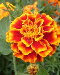 A photo of French Marigold