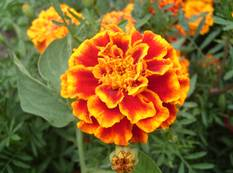 A close up of a French marigold