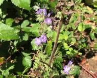 A photo of Phacelia