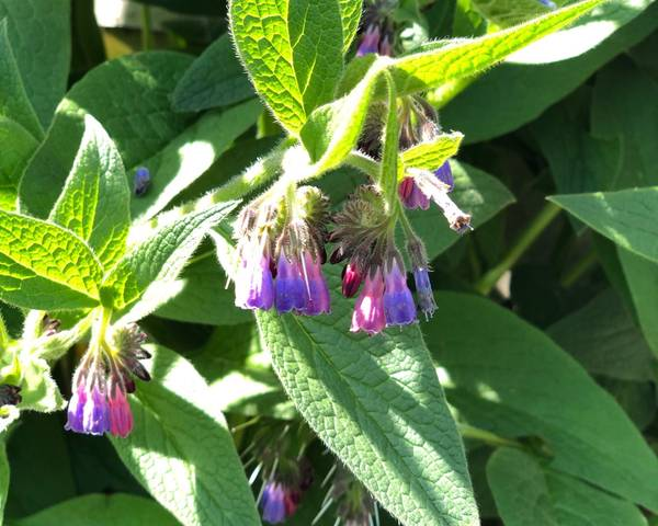 A picture of a Comfrey