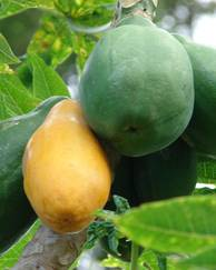 A photo of Papaya