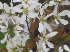 A close up of some white Amelanchier × lamarckii flowers on a plant