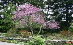A photo of Eastern Redbud