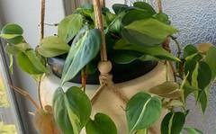 A photo of Philodendron