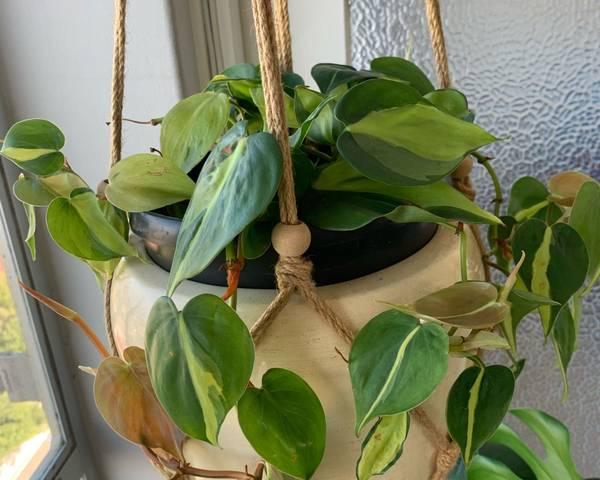 A picture of a Philodendron