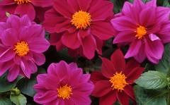 A photo of Dahlia 'Figaro Violet Shades'
