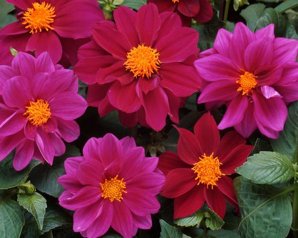 A picture of a Dahlia 'Figaro Violet Shades'