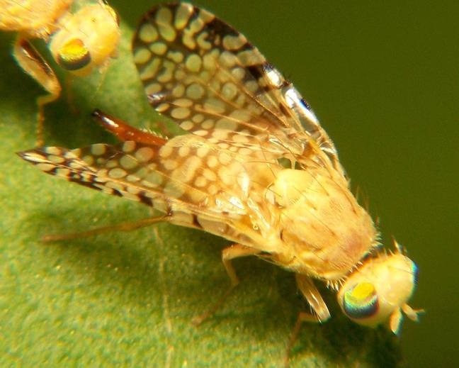 A close up of a a fruit fly on a leaf Tephritidae