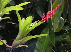 A close up of a green Aechmea fulgens plant with red flowers