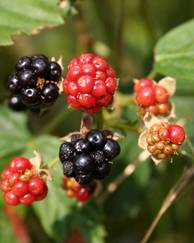 A photo of Blackberry