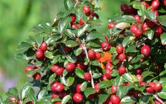 A photo of Spreading Cotoneaster