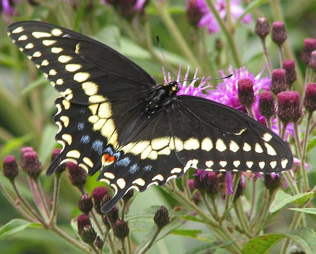 A colorful swallowtail butterfly on a flower