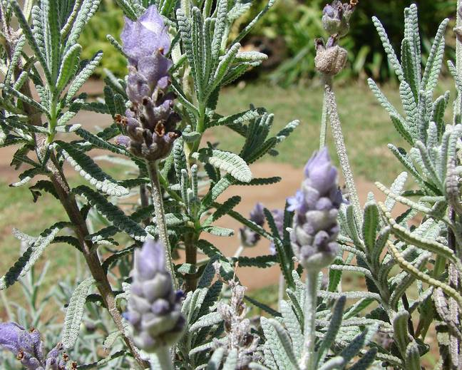 A close up of some purple Lavandula dentata flowers in a garden