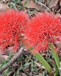 A photo of Blood Lily