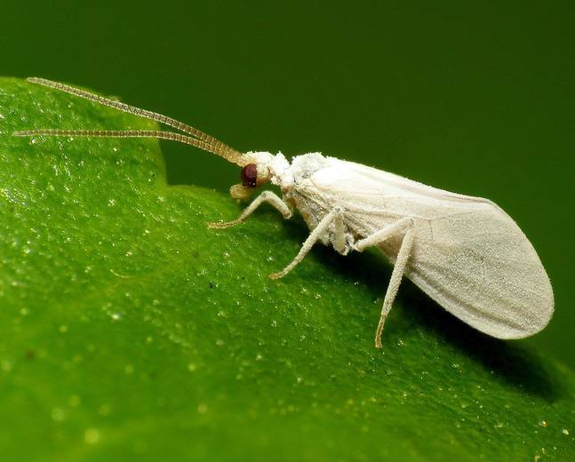 A close up image of a whitefly in the insect family Aleyrodidae
