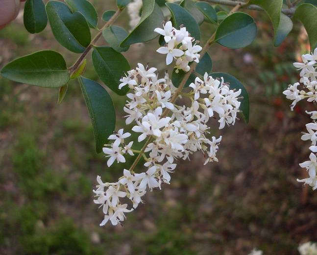 A close up of some white Ligustrum sinense flowers