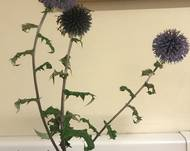 Some Echinops ritro subsp. ruthenicus in flower