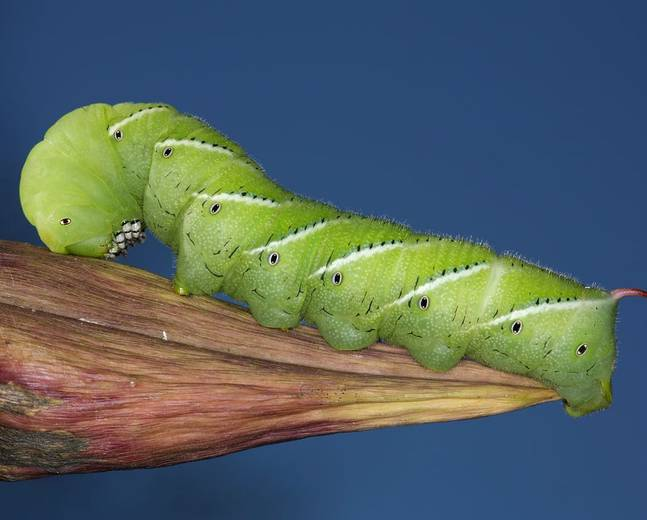 A close up image of a green tobacco hornworm Manduca sexta resting on a piece of wood