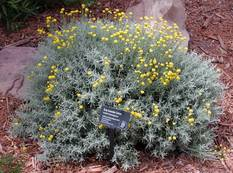 A mound of Santolina chamaecyparissus with silver foliage and yellow flowers