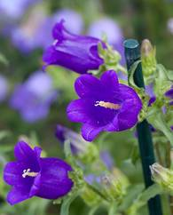 A photo of Canterbury Bells