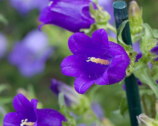 A close up of some purple Campanula medium flowers