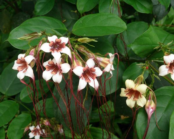 A picture of a Strophanthus