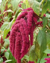 A photo of Amaranth