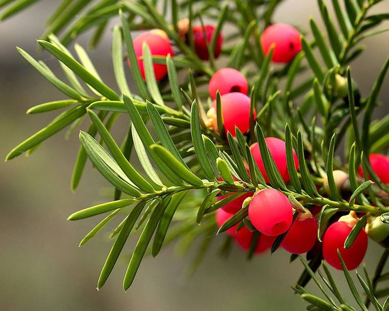 Yew tree leaves and berries