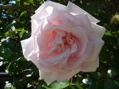 A pink Rosa New Dawn flower on a plant