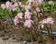 Some Darmera peltata flowers in a garden