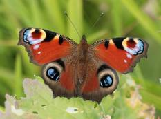 An Aglais io, the European peacock butterfly on a leaf