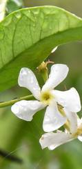 A photo of Star Jasmine