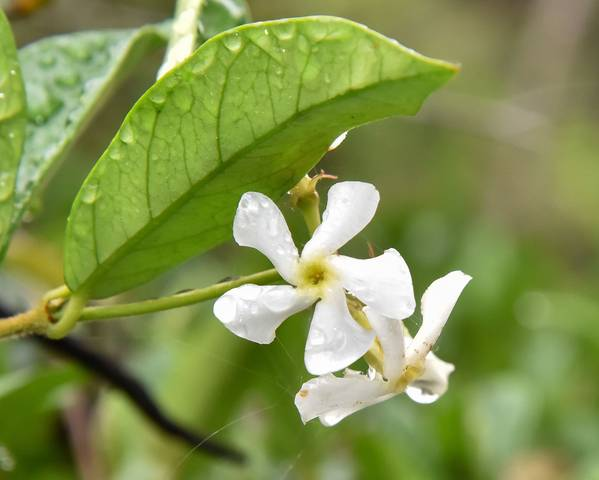 A picture of a Star Jasmine