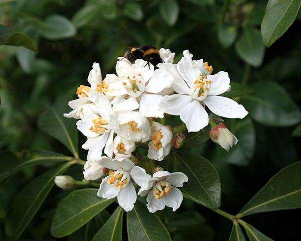 A picture of a Mexican Orange Blossom