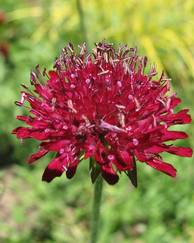 A photo of Macedonian Scabious