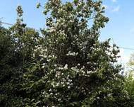 'Philadelphus coronarius' - Mock Orange at Shipley, West Sussex, England
