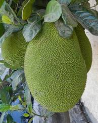 A photo of Jackfruit