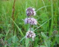 A photo of Water Mint